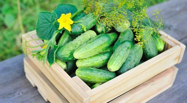 Какие огурцы выращивать на урале? обзор лучших сортов