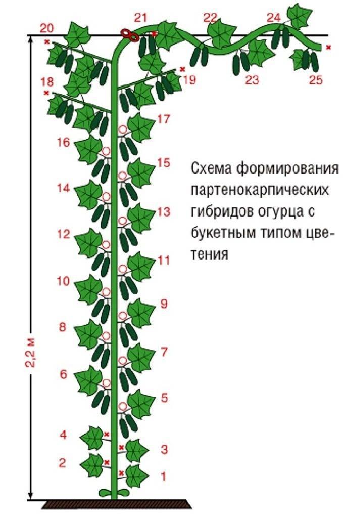 Схема обрезки огурцов в теплице, чтобы был хороший урожай