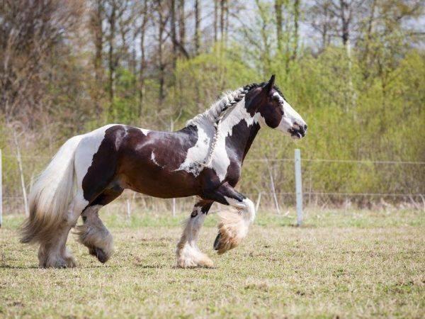 Описание русской верховой породы лошадей и правила содержания
