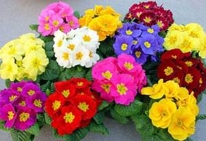 Примула садовая многолетняя: описание видов и выращивание