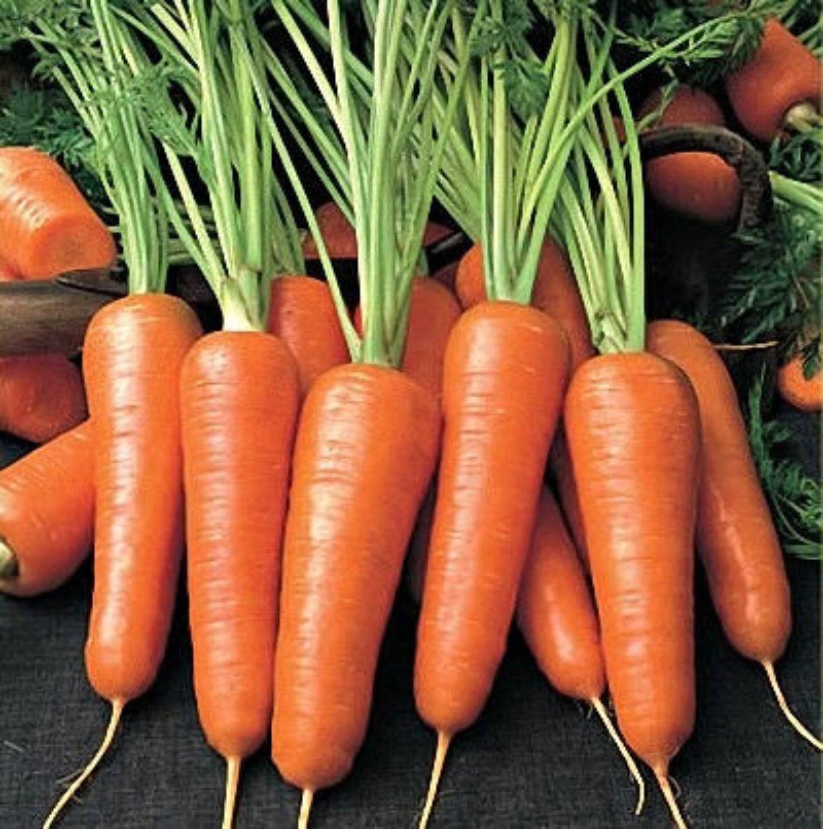 Морковь амстердамская: характеристика и описание сорта