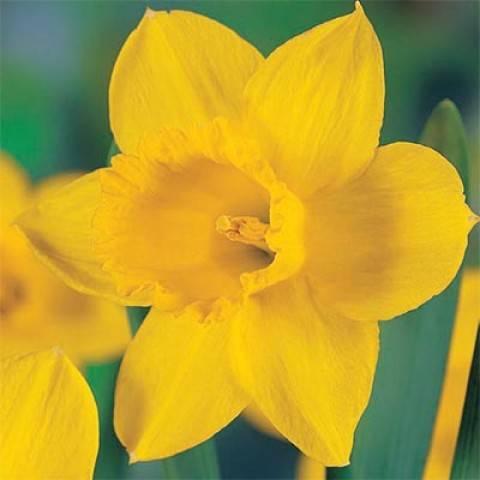 Нарцисс (narcissus): сравнение сортов для выращивания