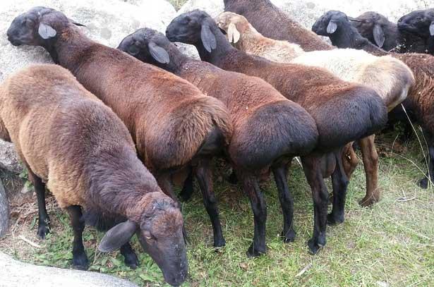 Неприхотливые курдючные овцы