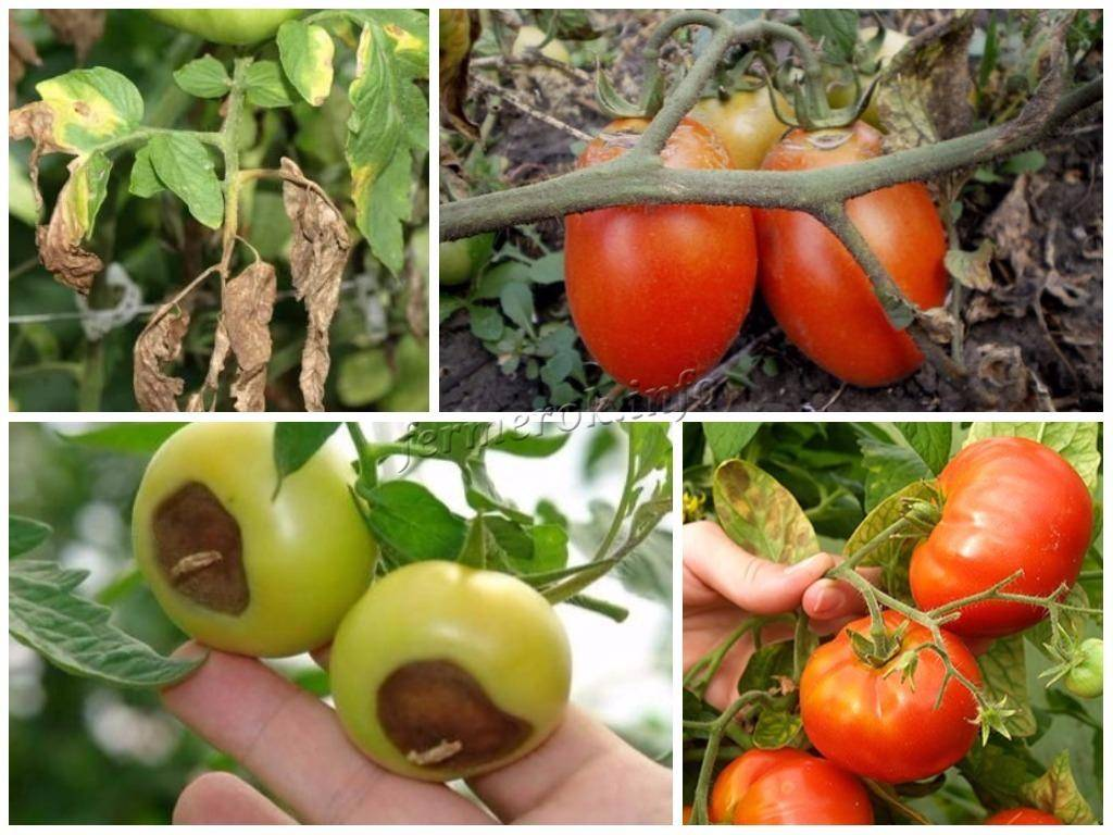 Особенности, характеристики и описание сорта томата «малиновое чудо»