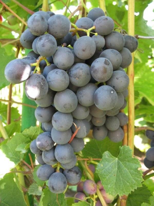 Описание винограда сорта «агат донской»: характеристики, фото, отзывы садоводов