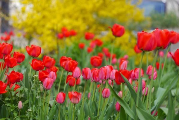 Определяем благоприятные дни для посадки тюльпанов в открытый грунт в 2020 году