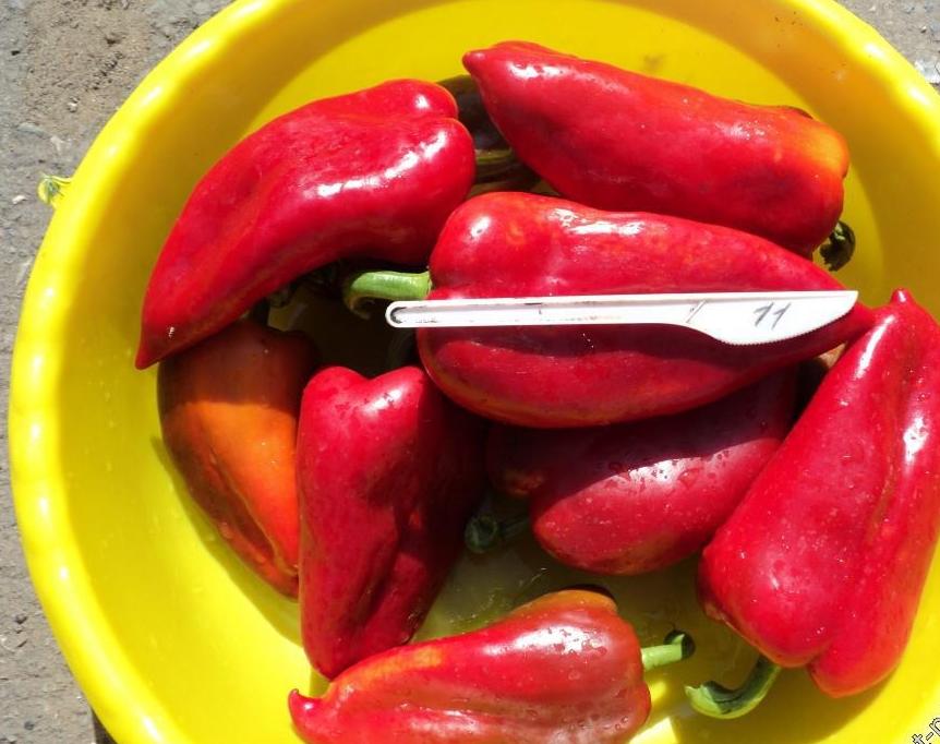 Как выращивать перец воловье ухо и чем интересен тот сорт?