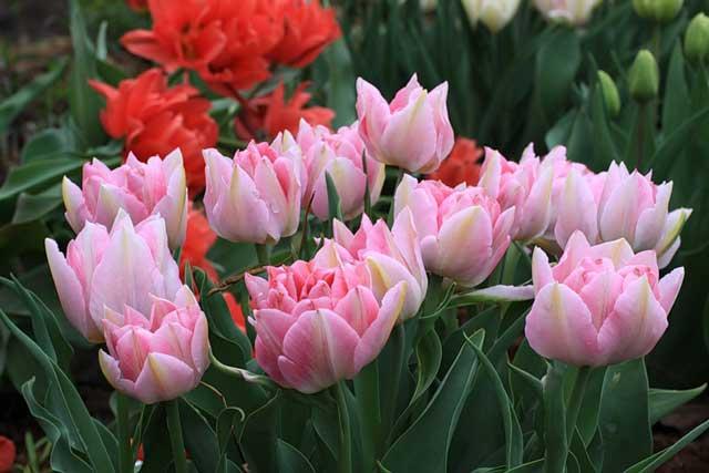 Тюльпаны: описание цветов и их выращивание