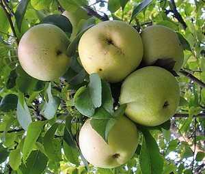 Яблоня с броским названием — афродита