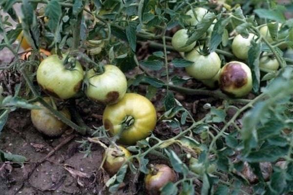Почему чернеют помидоры при созревании и что делать