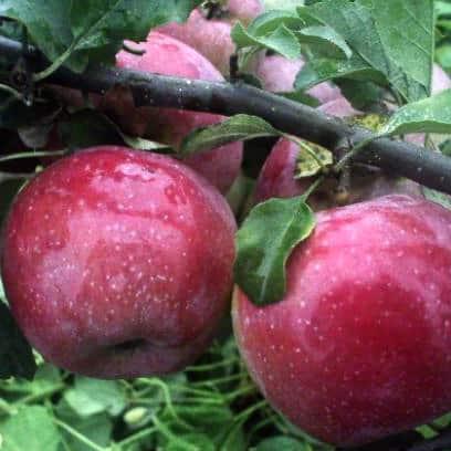 Яблоня уралец: особенности сорта и ухода