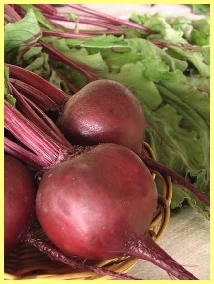 Неприхотливая свекла раннего сорта «водан» f1. описание, особенности выращивания и применения