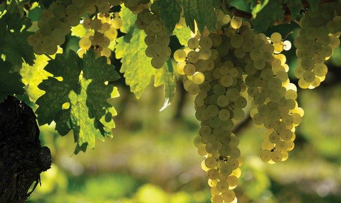 Виноград Солярис: описание сорта и характеристики плодов и куста с фото