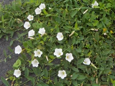 Советы, информация и рекомендации о том, как навсегда избавиться от ежевики на огороде