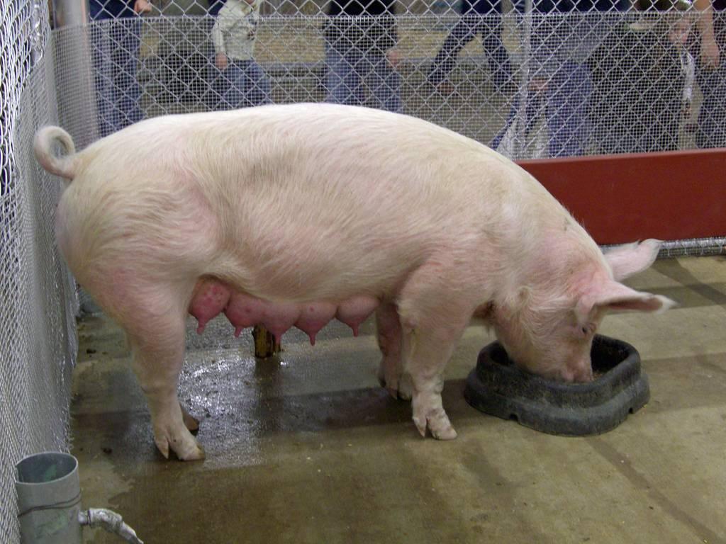 Как узнать, что свинья загуляла, сколько дней и в каком возрасте