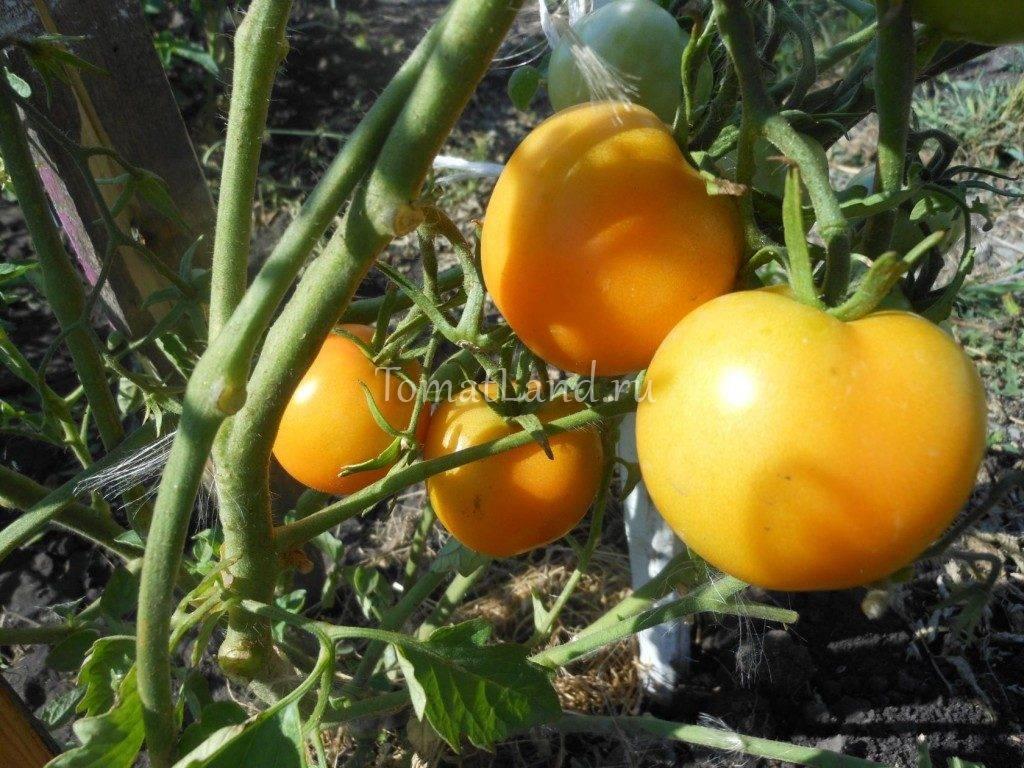 Томат бетта: описание сорта и 5 способов выращивания