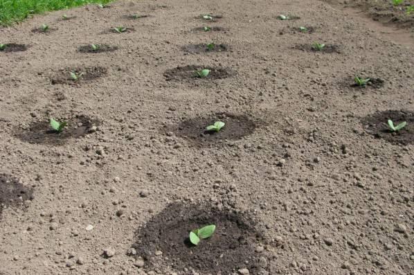 Как посадить огурцы в грунт семенами