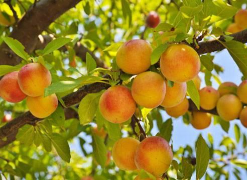 Персиковое дерево: популярные сорта и правила выращивания