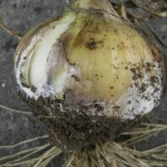 Топ-7 самых опасных вредителей лука