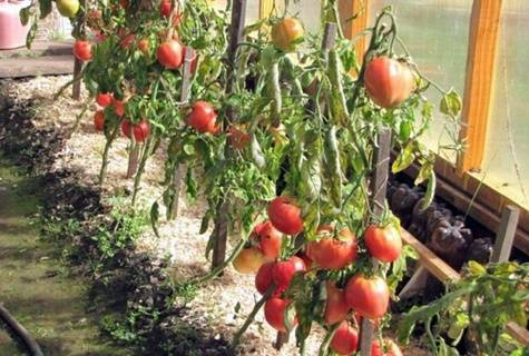 Крупноплодные помидоры «тяжеловес сибири» для регионов с суровыми зимами