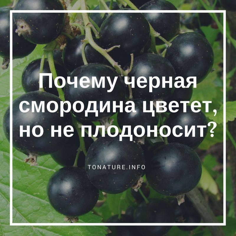 По каким причинам не цветет и не плодоносит смородина и что с этим делать
