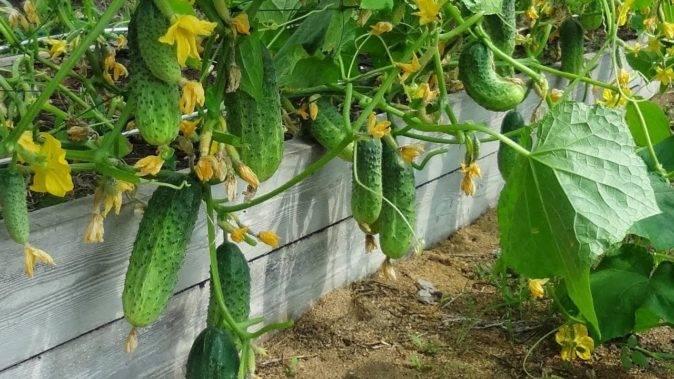 Лучшие сорта огурцов для выращивания в открытом грунте в подмосковье