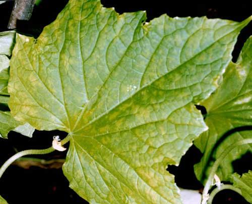 Желтеют и сохнут листья у огурцов: причины и что делать?