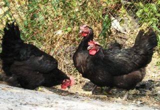 Описание 6 лучших пород кур с черным оперением и правила содержания