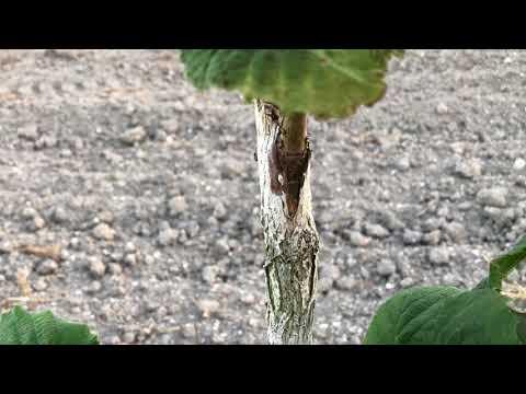 Лещина – посадка, уход и обрезка фундука