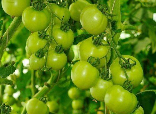 Уход за помидорами в открытом грунте от посадки до урожая