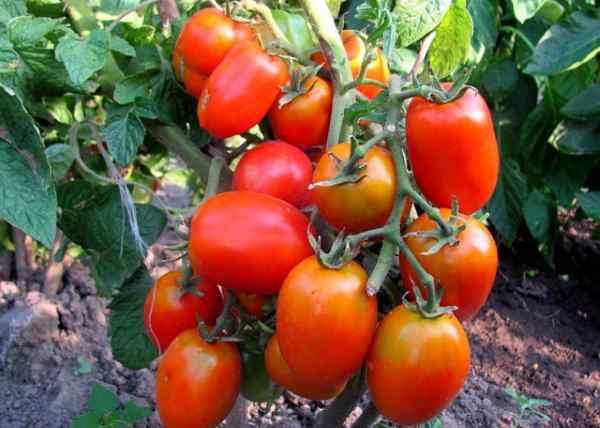 Фото, видео, отзывы, описание, характеристика, урожайность гибрида помидора «малиновая сладость f1»