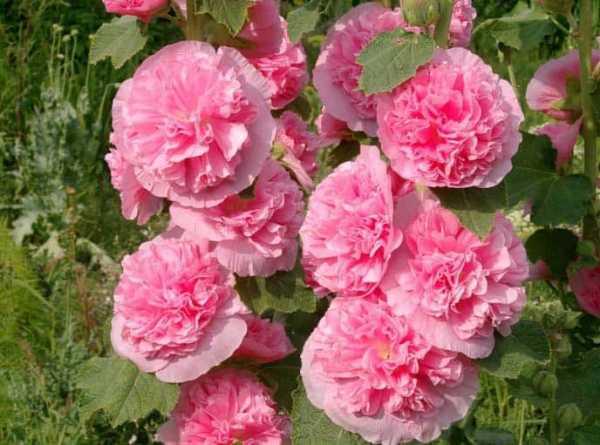 Посадка роз осенью в открытый грунт