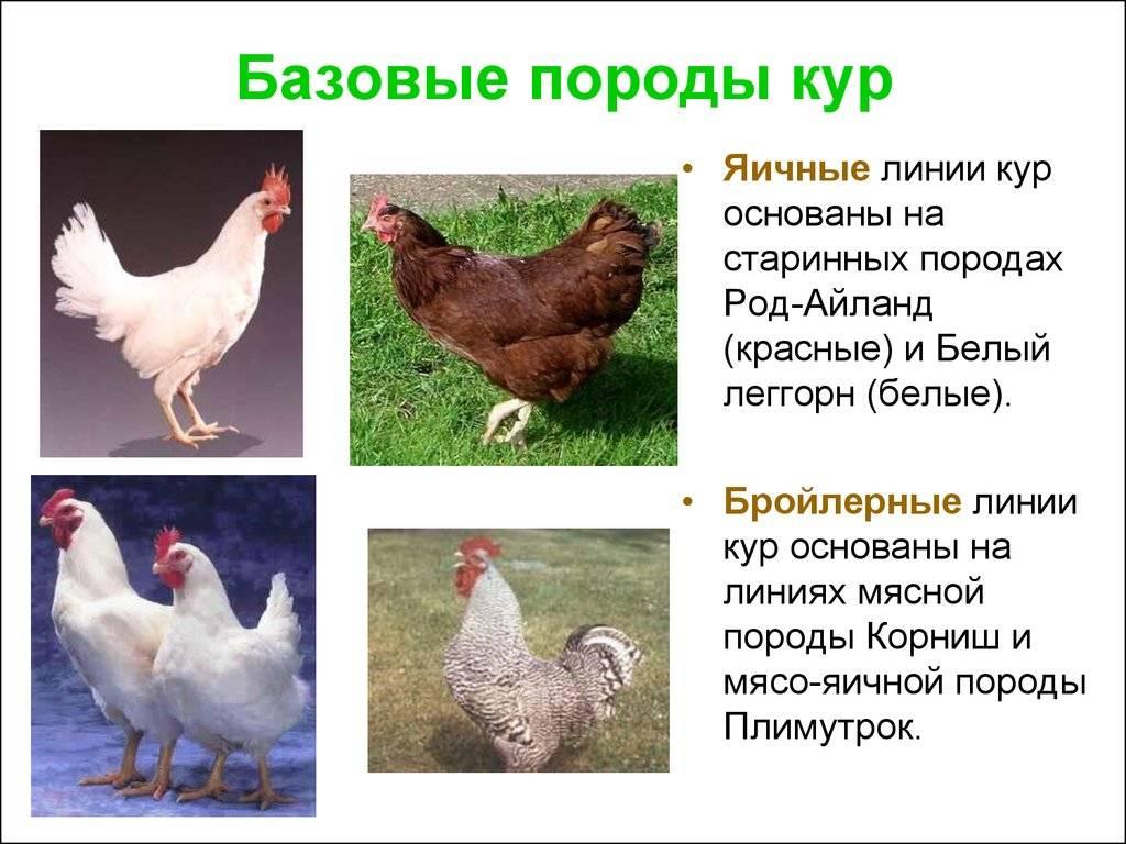 Куры «павловская»