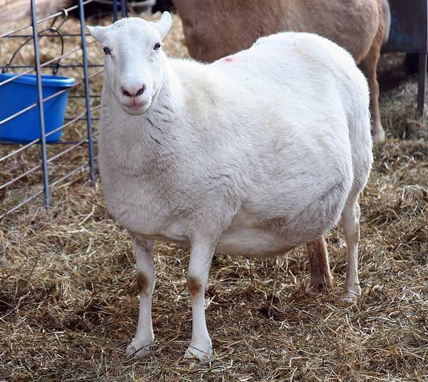 Беременность немецкой овчарки: продолжительность, признаки, протекание
