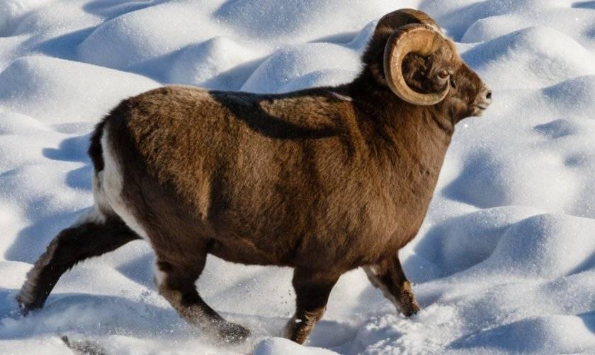 Среда обитания и образ жизни снежного барана