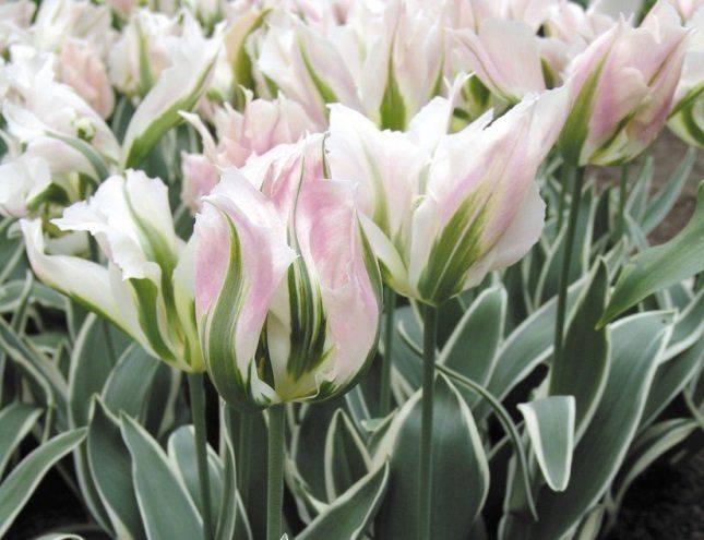 Тюльпан дабл оф бьюти апельдорн: описание сорта, посадка, выращивание и уход с фото