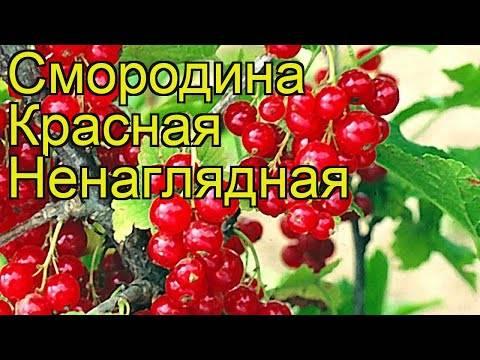 Описание и характеристики красной смородины сорта ненаглядная