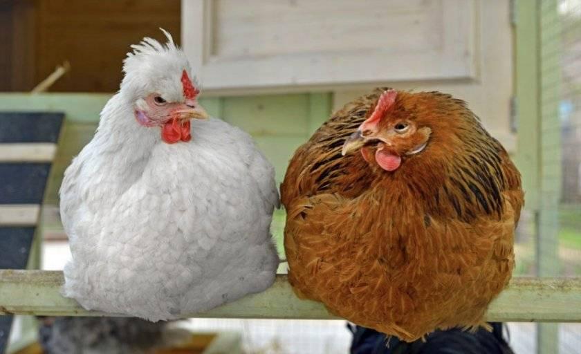 Сколько лет живут курицы и петухи?