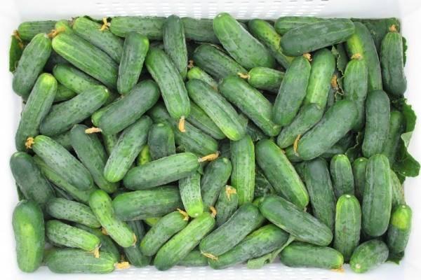 Огурцы эколь f1: правила выращивания урожайного гибрида
