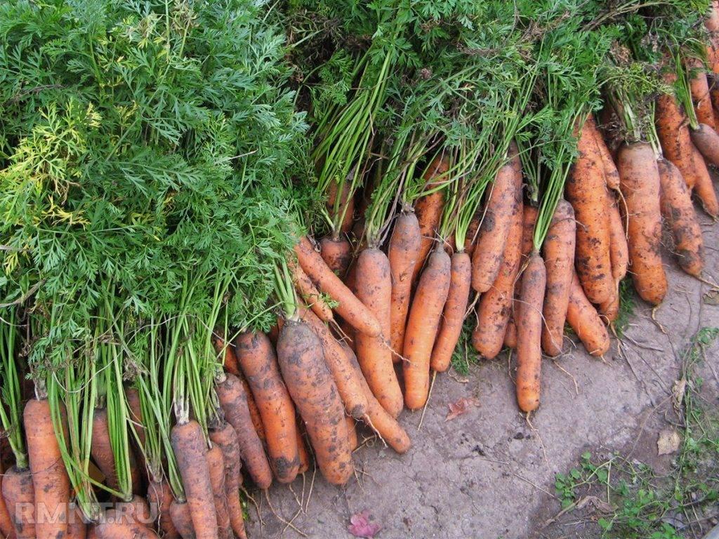 Как правильно поливать, обрабатывать и пропалывать морковь керосином от сорняков