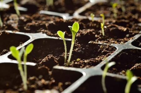 При каких условиях всходят семена томатов и как ухаживать за сеянцами