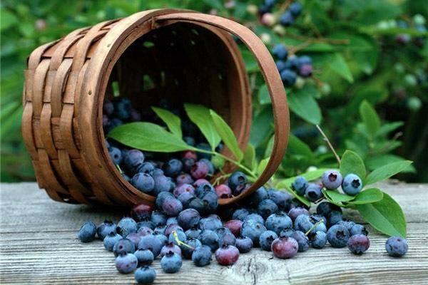 Сбор ягод— ягодный календарь лесных и садовых ягод. как собирают, какие и когда можно собирать ягоды
