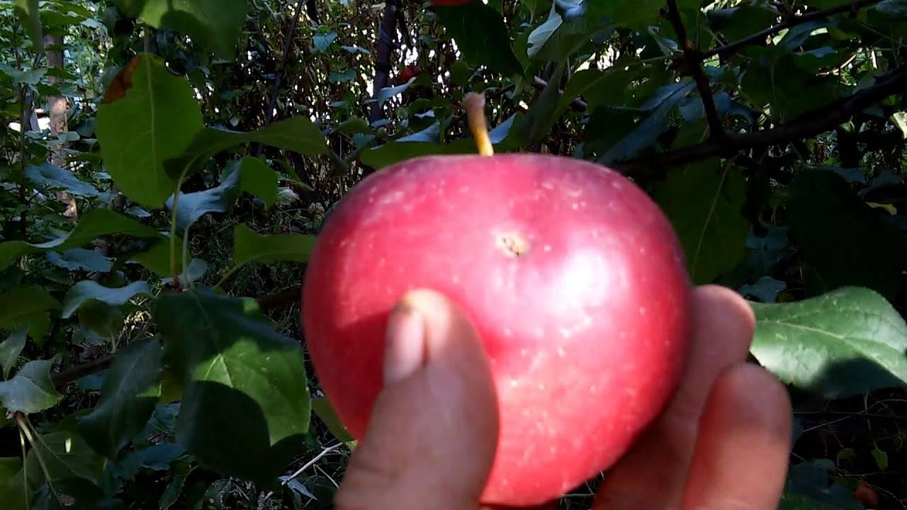 Яблоня услада: особенности сорта и ухода
