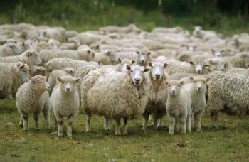 Овцеводство в австралии