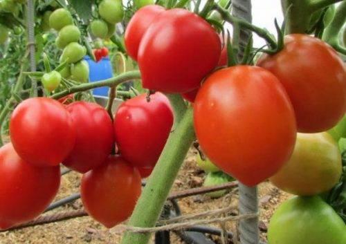 Универсальный сорт для всех регионов — томат «столыпин»: описание, фото, отзывы.