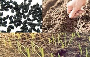 Сорта лука из семян за один сезон