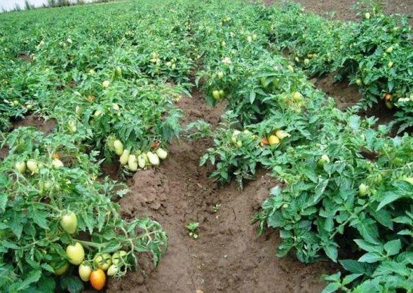 Томаты безрассадные: способы выращивания в открытом грунте, какие сорта