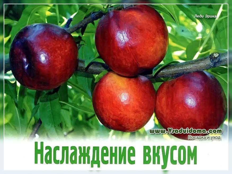 Лучшие сорта инжирного персика