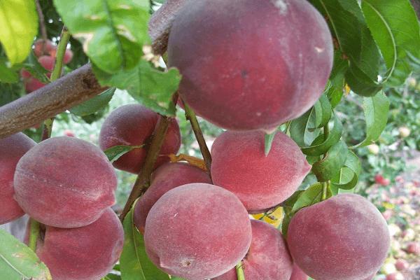 Нектарин гибрид каких фруктов как называется скрещенный с персиком