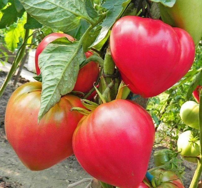 Томат ультраскороспелый: описание сорта, выращивание